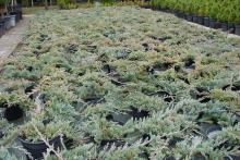 Jałowiec płożący Wiltonii Juniperus horizontalis Wiltonii