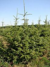 Świerk serbski Picea Omorica
