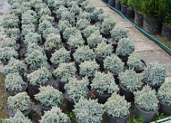 Jałowiec łuskowaty 'Blue Star' Juniperus squamata Blue Star